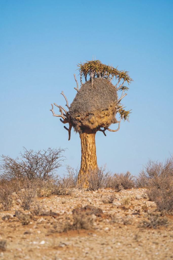 Koecherbaeume-Suedafrika-Sociable-Weaver-Nest