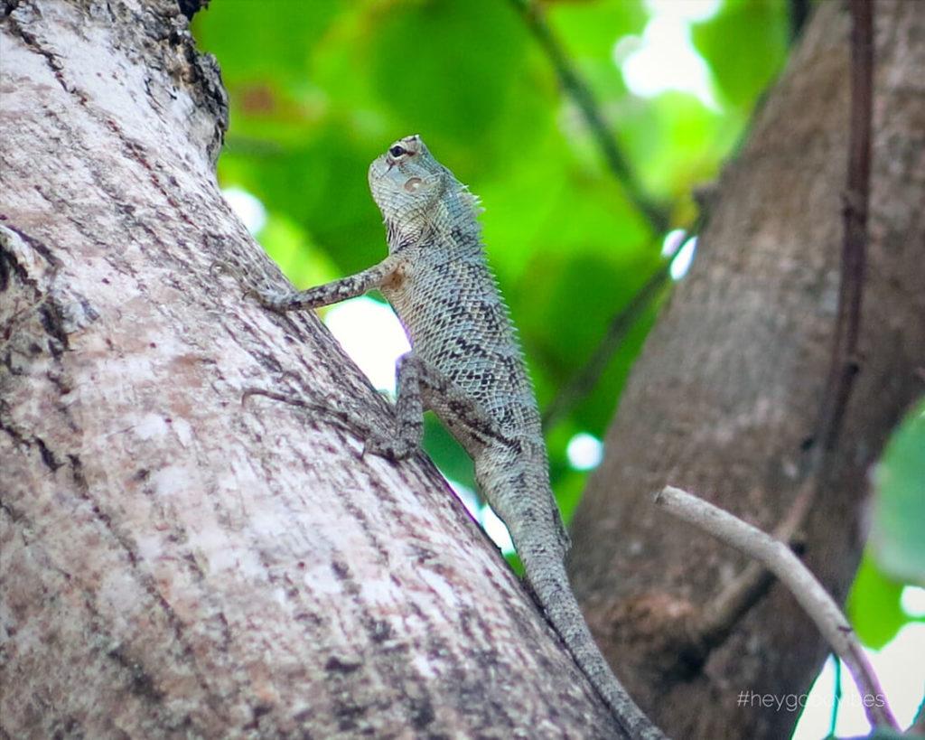 Malediven_reise-Kuredu-Gecko