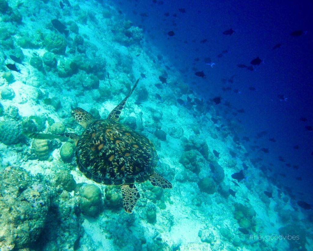 Malediven_reise-Kuredu-Island-Resort-Schnorcheln-Schildkroete