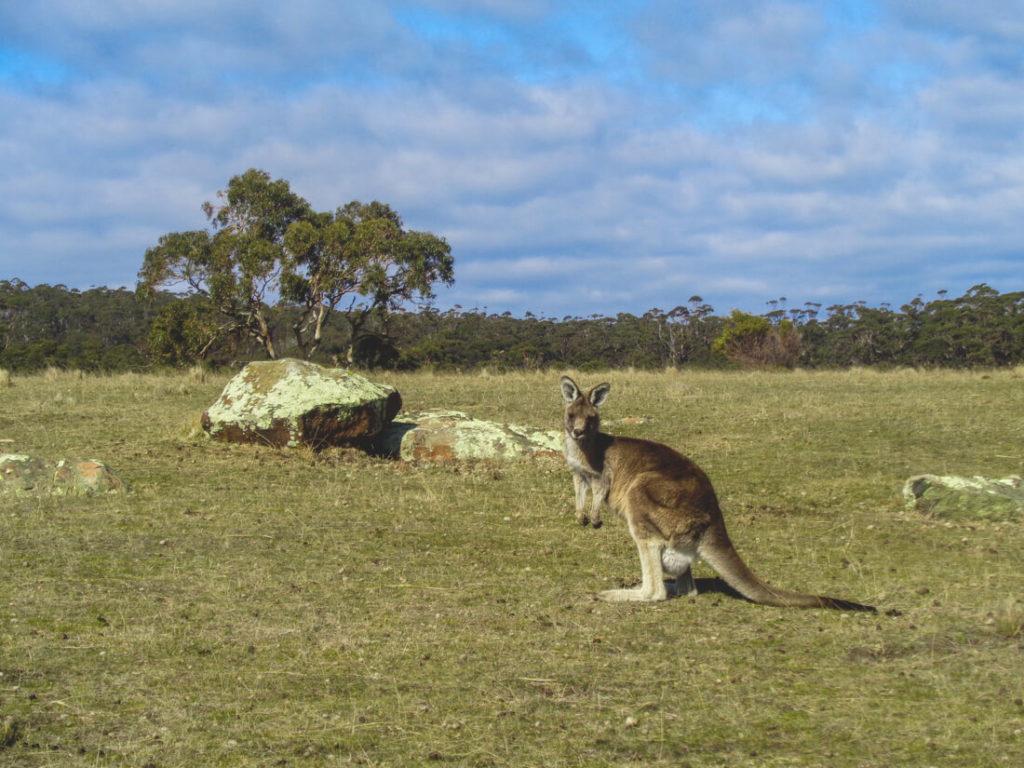 Tasmanien-Sehenswuerdigkeiten-Kaengeru-Tierwelt