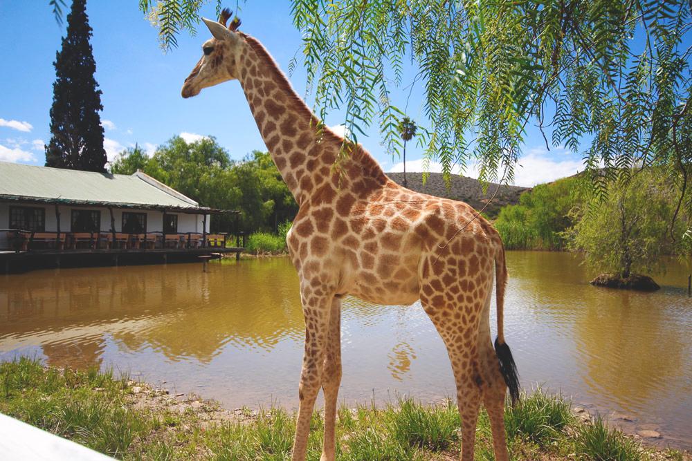 Oudtshoorn Chandelier Game Lodge Giraffe Garden Route Südafrika