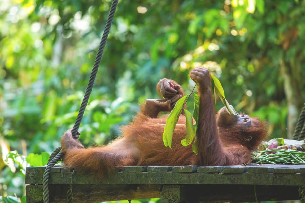 Malaysia Sehenswürdigkeiten - Orang Utan in Sepilok auf Borneo