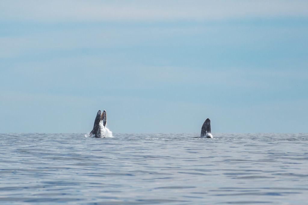 Baja-California-Mexiko-Grauwale-Magdalena-Bay
