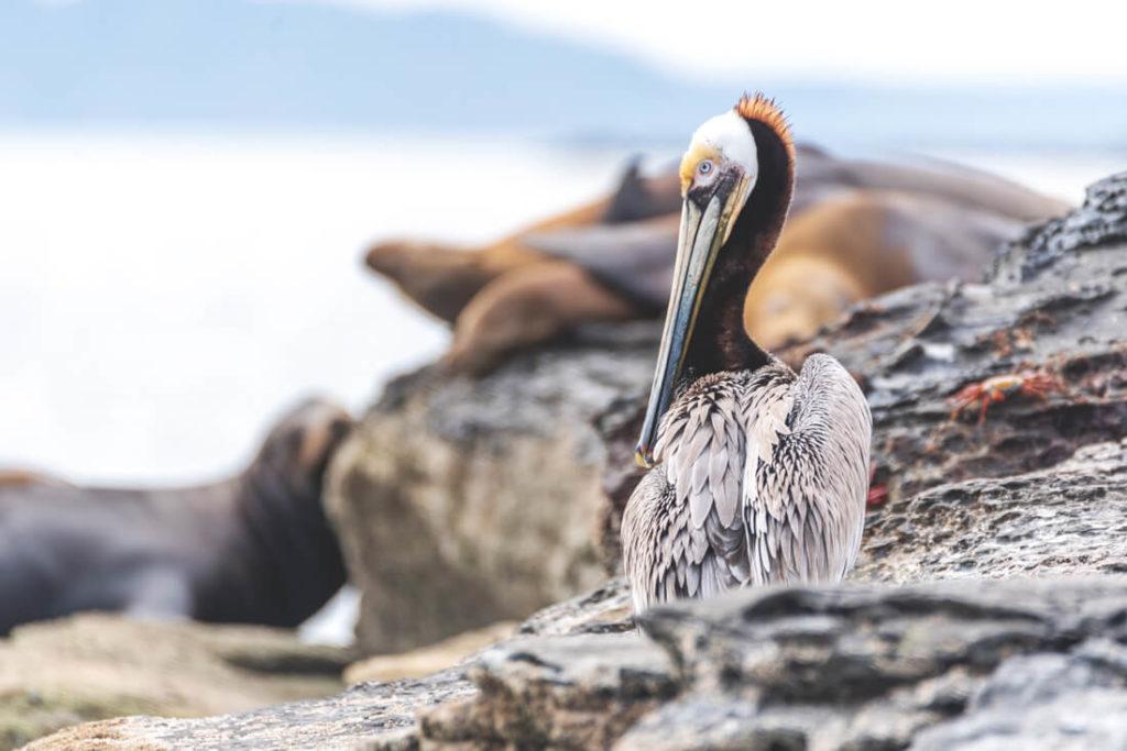 Baja-California-Mexiko-Pelikan-Loreto