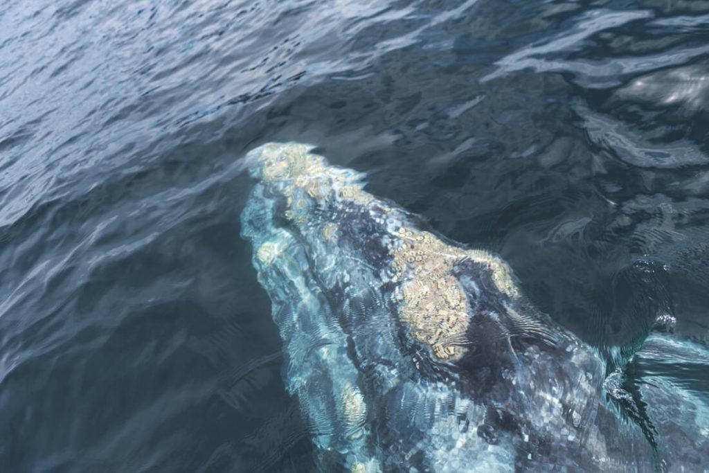 Baja-California-Mexiko-Whale-Watching-Grauwale-Magdalena-Bay