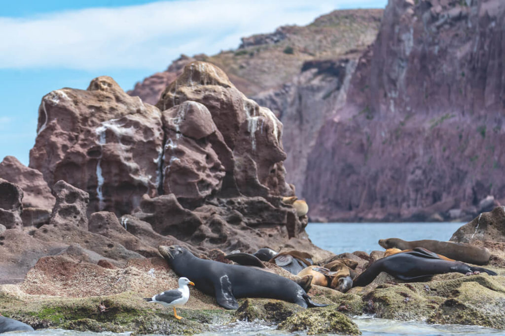 Baja-California-Seeloewe-La-Paz-Espiritu-Santo-1