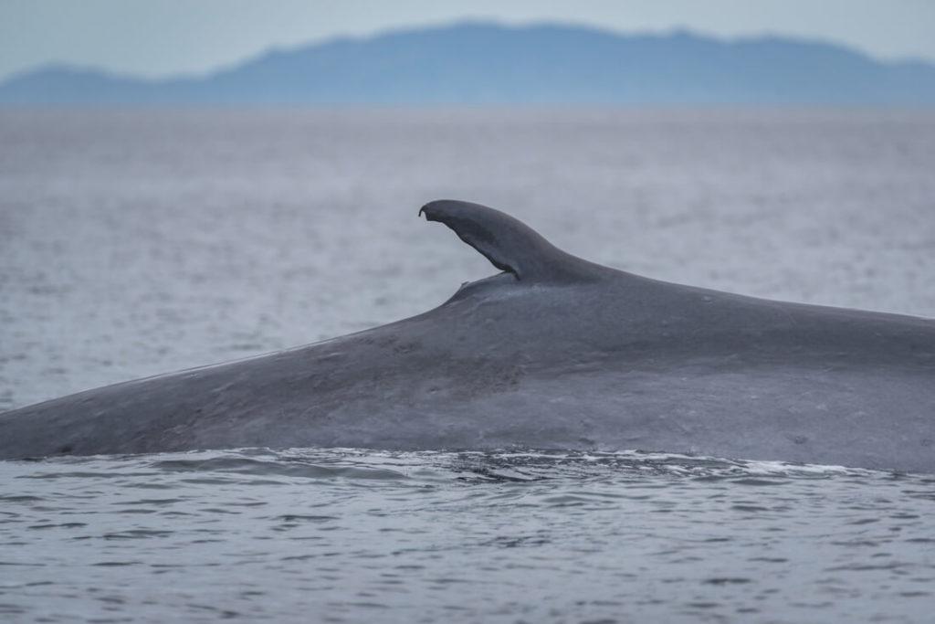 Mexiko-Baja-California-Blauwal-Loreto-Whale-Watching-3