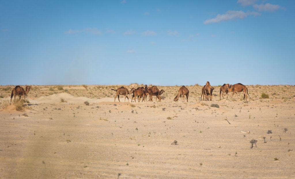 Tunesien-Rundreise-Wueste-Dromedare