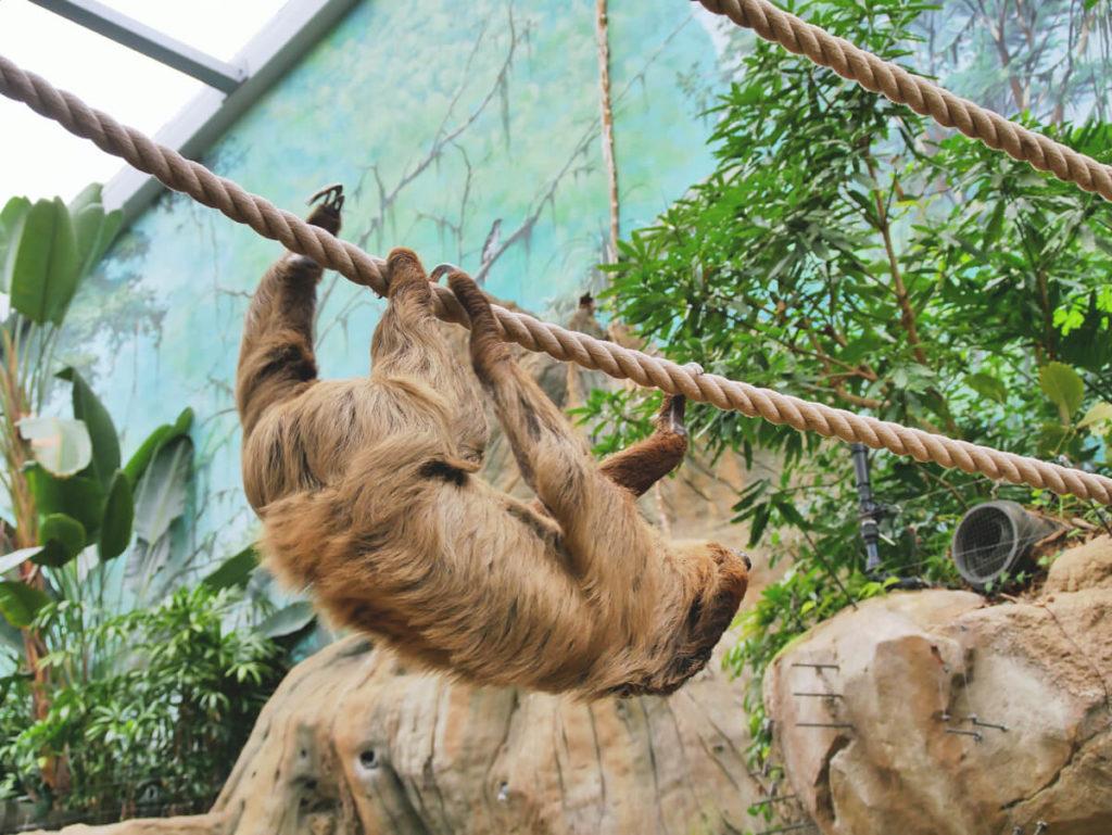 Rostock-Sehenswuerdigkeiten-Zoo-Faultier