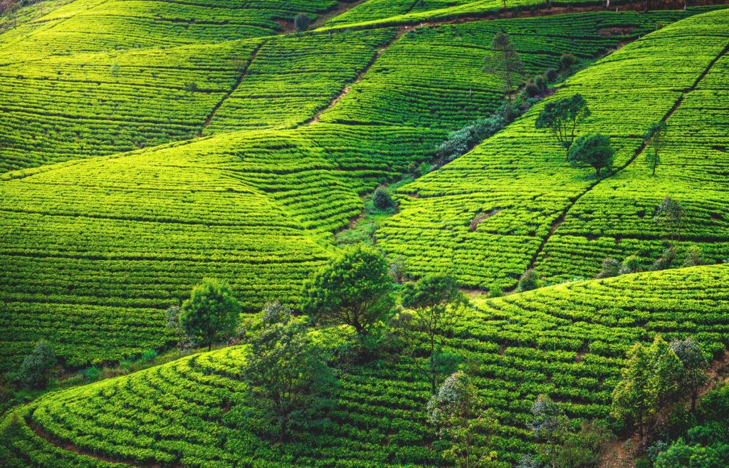 Sri Lanka Sehenswürdigkeiten Teeplantagen