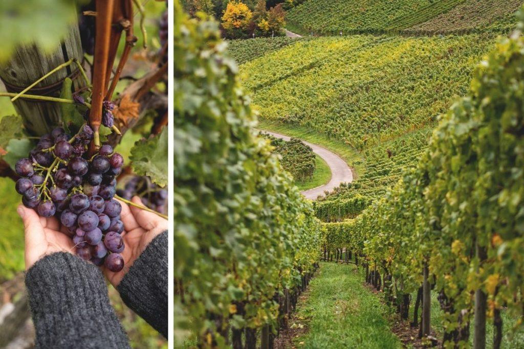 Weinberge-Stuttgart-Weinanbau-Weinwanderwege