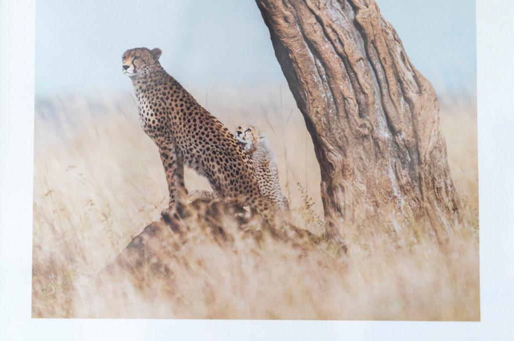 Poster Chettah Gepard Afrika