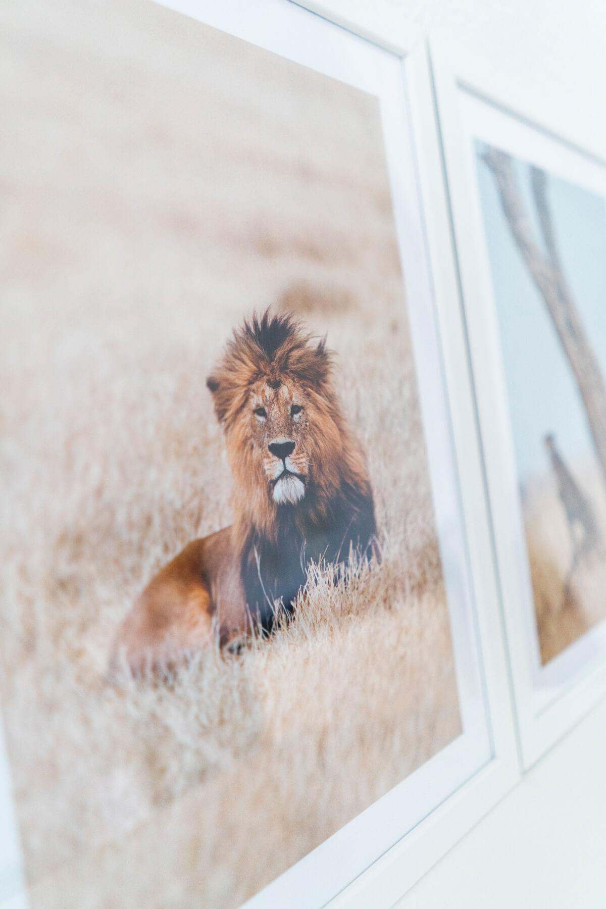 Poster Löwe Afrika Savanna