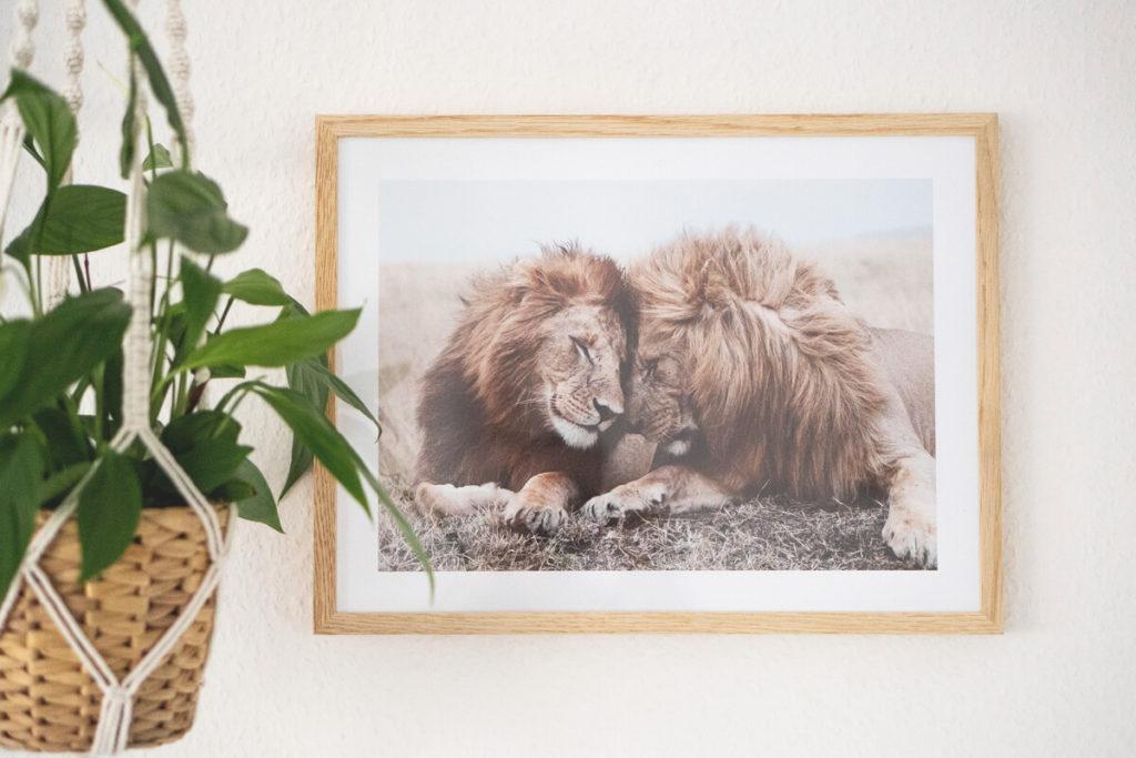 Desenio-Poster-Loewe-Afrika-Suedafrika-Safari