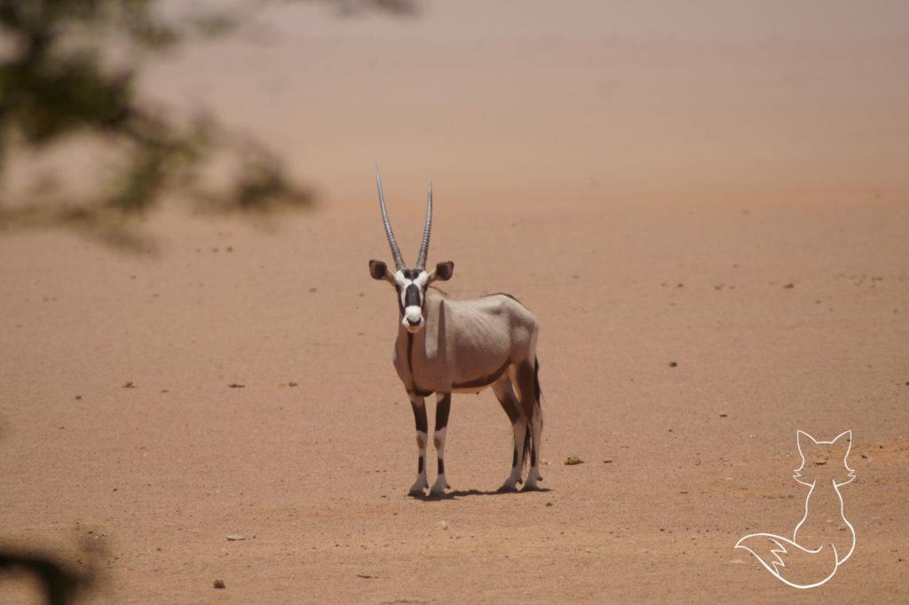 Namibia Highlights Tierwelt Oryx