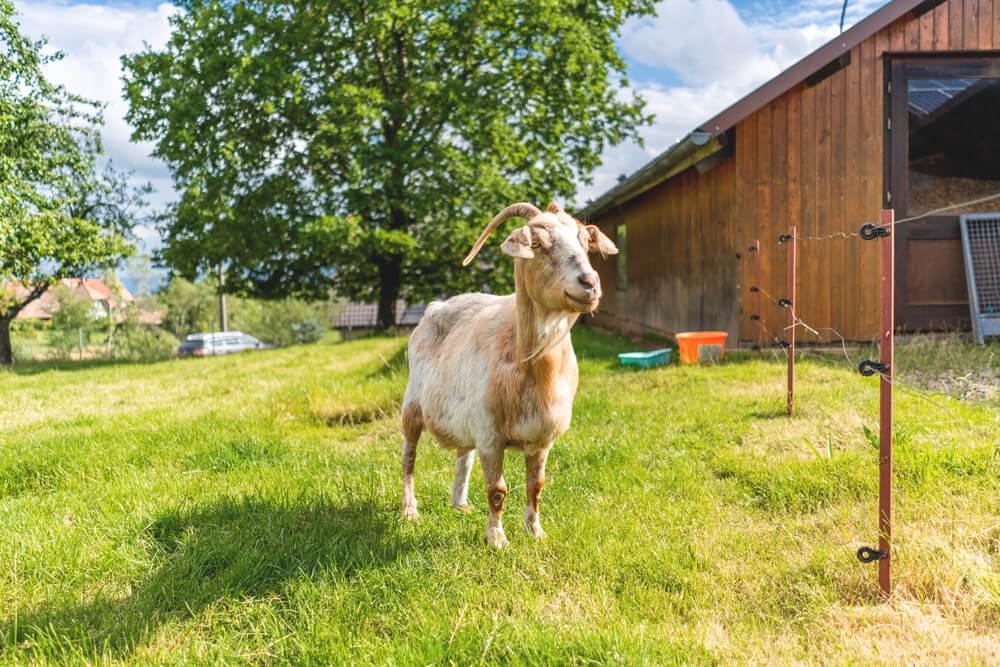 Bio-Bauernhof Gerspach Südschwarzwald Ziege