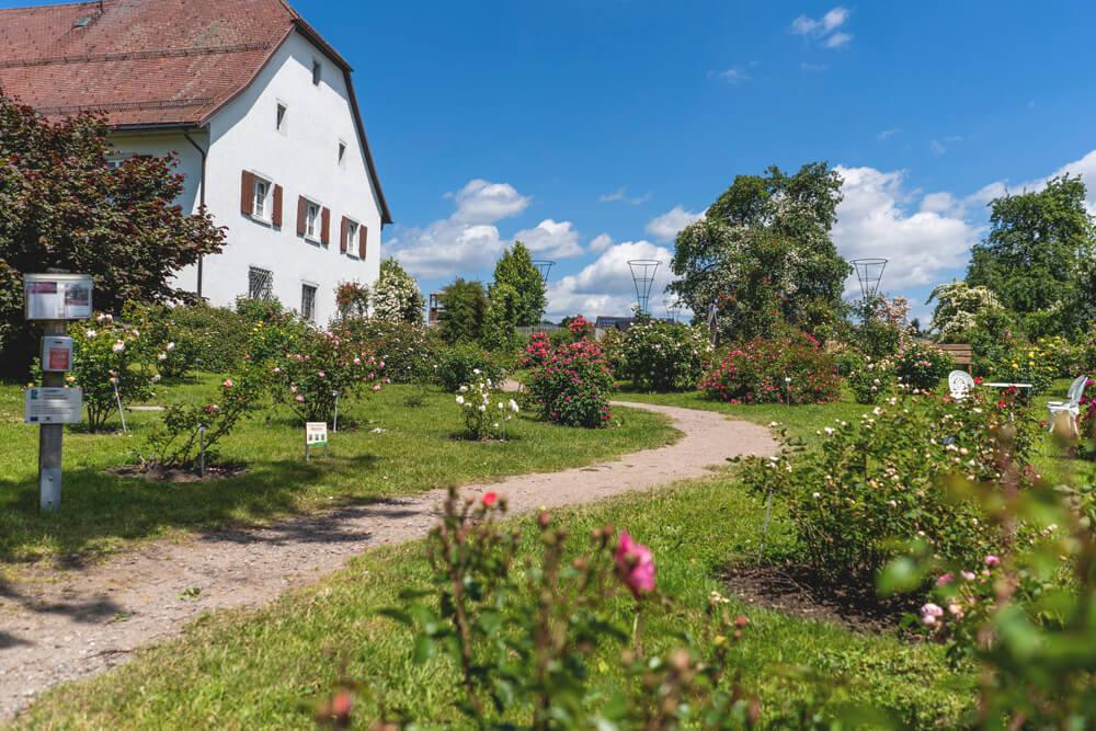 Rosendorf Nöggenschwiel Südschwarzwald
